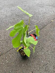 黒イチジクの苗 【久留米くろみつ】4号川が薄く、果肉は蜜のように甘くトロっとした柔らかさです。着果性よく家庭でも育てやすい品種です♪久留米くろみつ いちじく 無花果 果樹苗