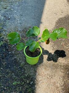 キウイの苗 4号ポット初心者でも育てやすい!ビタミンたっぷりフルーツです。 キウイ 果樹 フルーツ 果実 苗 家庭菜園