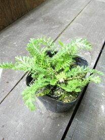 【ハーブ】ヤロウ【レッド】植物の病気を癒す効果があります♪植物にも人にも優しいハーブヤロウ【レッド】  3号ポット 【西洋ノコギリソウ】【ティー向けハーブ】