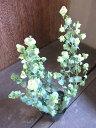 【ハーブ】オレガノ バーバラチンゲイ ハンキングにぴったりな人気種です!!枝垂れ下がるピンクのお花がかわいらしい品種です!オレガノ バーバラチンゲイ  3号ポッ...