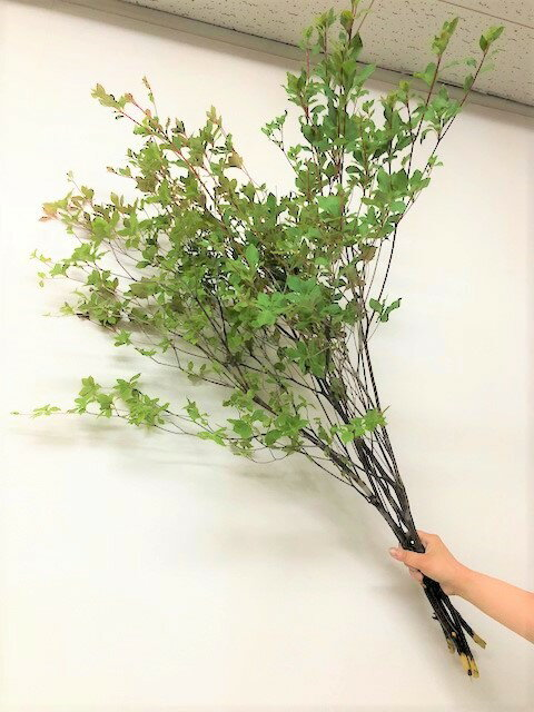 【生花】 【切り花】ドウダンツツジ 5本束(90〜100cm丈)【枝物】生け花やお部屋のディスプレイに人気です♪爽やかな葉色が素敵な空間を演出してくれますドウダンツツジ 5本束(90〜100cm丈)【枝物】【生】