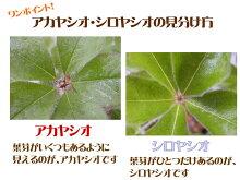 【アカヤシオ・シロヤシオツツジセット】アカヤシオ・シロヤシオ各1株計2株のセットです!12cmポット実生5〜6年樹高約20cm商品画像は2020年6月撮影です