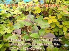 【アカヤシオ・シロヤシオツツジセット】アカヤシオ・シロヤシオ各1株計2株のセットです!12cmポット実生5〜6年樹高約20cm季節(10月頃〜4月)により葉が落葉していますので予めご了承ください