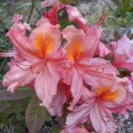 エクスバリーアザレア『セシール』Z087 蕾になるかはまだ分かりません ピンクの一重咲き 大きさ20cm前後 15.0cmポット 商品画像はイメージです 2019年9月4日撮影です