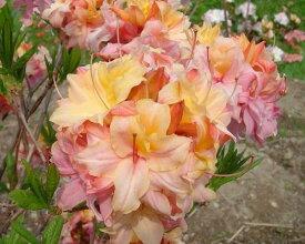 希少種 信濃ツツジ(シナノツツジ) 『P・P・I』T317 C3-5 ピンク系の八重咲種です 商品画像はイメージです 2019年5月16日に15.0cmポットまたは5号鉢に鉢増ししてあります。根が鉢全体に回るのは6月下旬の頃だと思います。