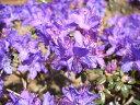 青紫系ミニシャクナゲ『R・fastigiatum』R134、2016年中旬現在、蕾たくさん。