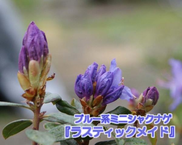 青紫系ミニシャクナゲ『ラスティックメイド』大きさ40cm前後 蕾少し付き 2018年9月21日撮影です 商品画像はサンプルです。お送りする苗は寒さにあたり葉が赤っぽくなっていますが生理現象なので生育には問題ありません。