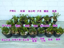 【選べる!5株セット】一重・采咲き等ミヤマキリシマツツジ7月末に7.5cm→9cmポットへ植替えました!勢いバツグン!樹高約5〜10cm