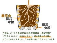 【選べる!3株セット】八重咲きミヤマキリシマツツジ7月末に7.5cm→9cmポットへ植替えました!勢いバツグン!樹高約5〜10cm