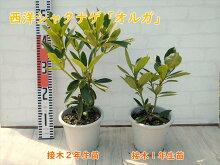 【送料無料】西洋シャクナゲ『オルガ』接ぎ木1年生苗樹高約30〜40cmオレンジ系サーモンピンク系希少な色味です
