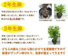 希少種黄色八重咲き信濃ツツジ(シナノツツジ)【銀河】R3155D1-1挿し木2年生樹高25cm商品画像は2020年6月撮影です