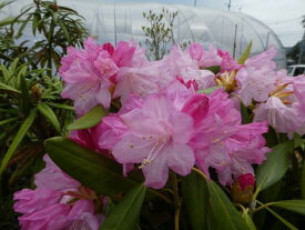 ホンシャクナゲ『ピンク』C9-6 春接ぎ苗です 商品画像は2020年7月撮影です