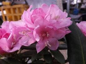 ホンシャクナゲ『能生産』R3041 c11-5 春接ぎ苗です 商品画像は2020年6月撮影です