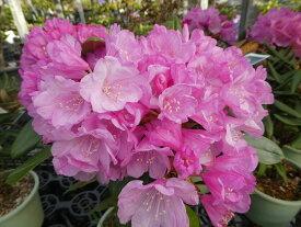 ホンシャクナゲ『蕾の付が良いです』R3234 c9-6 春接ぎ苗です 商品画像は2020年7月撮影です