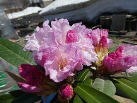 ツクシシャクナゲ『蕾の付きが良い品種です』C9-7 春接ぎ苗です 商品画像は2020年7月撮影です