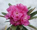 ホソバシャクナゲ 八重咲き『濃姫』5249 F 接ぎ木2年物です。商品画像はイメージです。2017年11月撮影です。商品画像に近い株をお送りいたします。