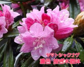 ヤマトシャクナゲ『濃色』R3042 c11−6 春接ぎ苗です 商品画像は2020年6月撮影です