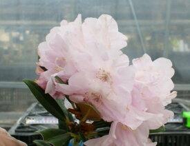 ヤマトシャクナゲ『E』R3040 c11-4 春接ぎ苗です 商品画像は2020年6月撮影です