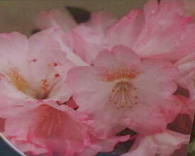 オキシャクナゲ ピンク R3044 C11-7 春接ぎ苗です 商品画像は2020年6月撮影です