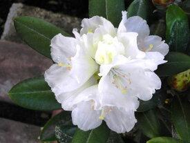 ヤクシマシャクナゲ『白花』C9-7 春接ぎ苗です 商品画像は2020年7月撮影です