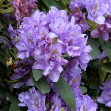 シャクナゲ『FastuosumFlorePleno』C10-7春接ぎ苗です商品画像は2020年7月撮影です