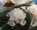 アヅマシャクナゲ『白花 接ぎ木株 7号鉢』R409 2016年9月中旬、蕾付きです。