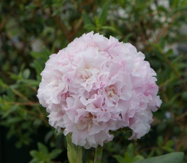 八重咲きシャクナゲ『十六夜』T189 B 接ぎ木9年目位? 蕾4つ付き 大きさ60cm×幅50cm前後 商品画像は2018年11月上旬撮影です。