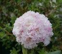【蕾5つ付き】八重咲きシャクナゲ『千の十六夜』R6085 樹高30cm×幅30cm 接ぎ木5年目位