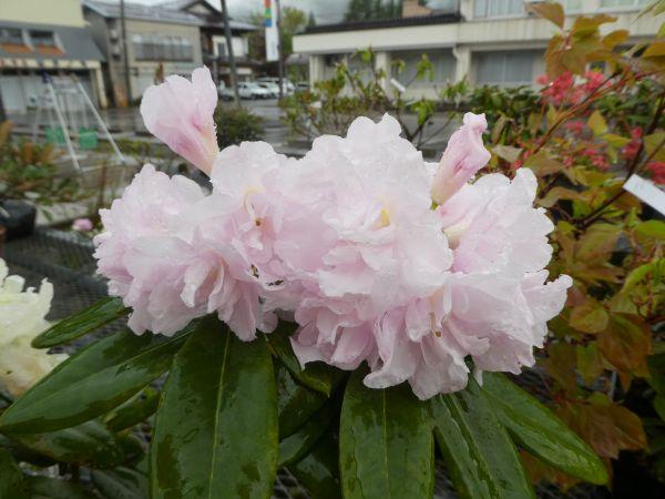 八重咲きシャクナゲ『Queen anne's』R1348 接ぎ木1年目 蕾付き! 大きさ20cm前後 2018年11月撮影です