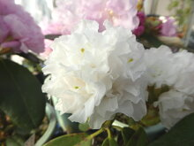 八重咲シャクナゲ