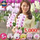 【月間優良ショップ】ミディ胡蝶蘭2本立ち5種類<品質保証>各種お祝いお供えご自宅用に