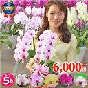 胡蝶蘭 ミディ中輪2本立ち 5種類 花 コチョウラン ギフト プレゼント お祝い 母の日 父の日 お誕生日祝い 還暦祝い 開…