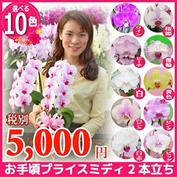 ミディ胡蝶蘭2本立ち10種類 各種お祝いお供えご自宅用に