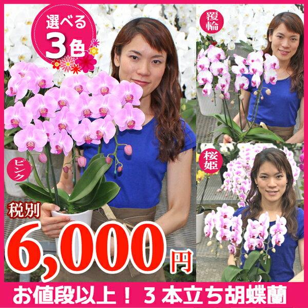 ミディ胡蝶蘭3本立ち3種類《品質保証書付き》