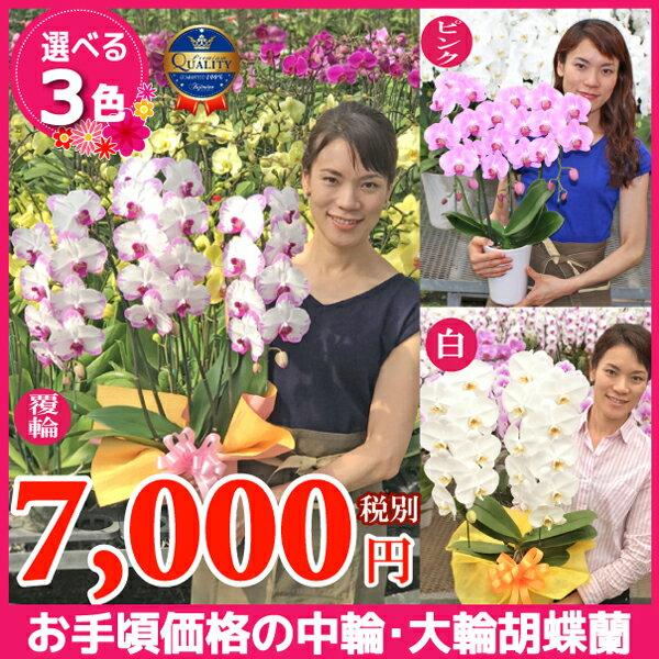 胡蝶蘭3種類7000円《品質保証書付き》本州送料無料