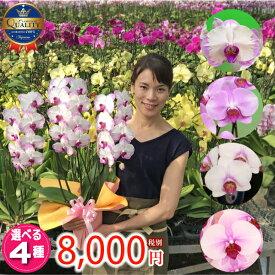 【月間優良ショップ】胡蝶蘭中輪3本立ち3種類7000円《品質保証》本州送料無料