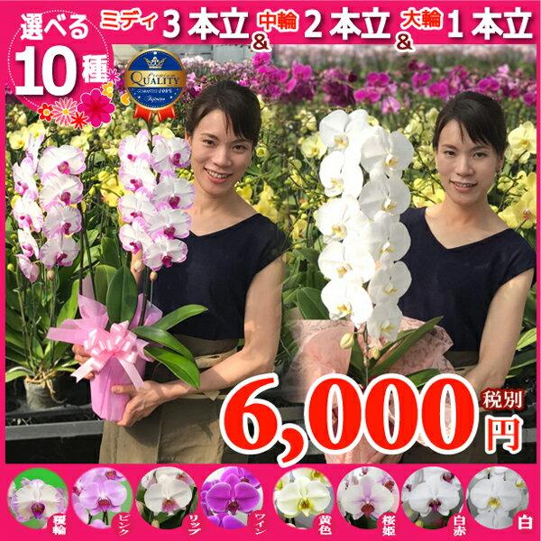 選べる胡蝶蘭10種類6000円《北海道配送不可》本州送料無料