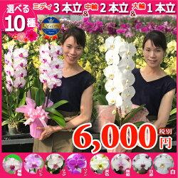 お値段以上の胡蝶蘭1〜3本立ち10種類