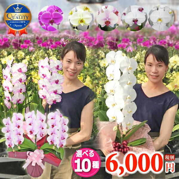 【月間優良ショップ】選べる胡蝶蘭10種類6000円《品質保証》本州送料無料