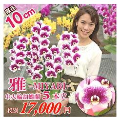 珍しい品種のスポット胡蝶蘭「雅」