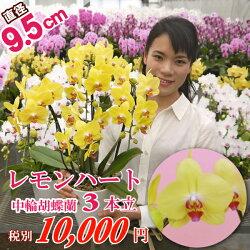 中輪胡蝶蘭レモンハート3本立ちお誕生日各種ギフト・プレゼントに