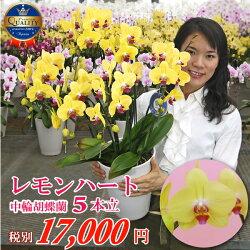 ぱっと目を惹く黄色の胡蝶蘭