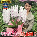 胡蝶蘭 中大輪 マダムルージュ3本立ち 花 コチョウラン 珍しい エレガントでふわりと優しい雰囲気です ギフト 開店祝…