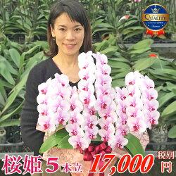 中輪胡蝶蘭桜姫5本立ちお誕生日各種ギフト・プレゼントに
