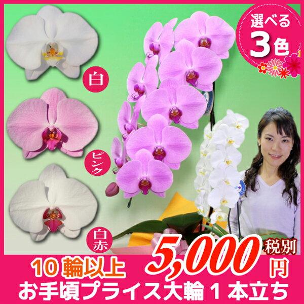 大輪胡蝶蘭1本立ち3色10輪以上 各種お祝いお供えに