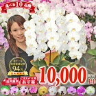 胡蝶蘭 3本立ち 1万円 大輪 中輪 選べる10種