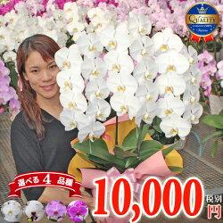 胡蝶蘭3本立ち全10種お誕生日各種ギフト・プレゼントに