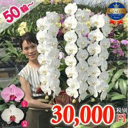 大輪3本立ちでは最大級の花サイズの14cm!