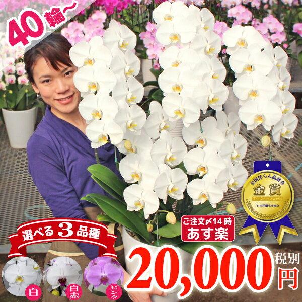 胡蝶蘭5本立ち40輪以上2色 開業祝い 開店祝い 就任祝いなど各種お祝いお供えに