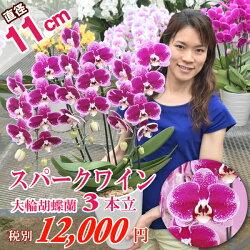 珍しい品種の大輪系スポット胡蝶蘭スパークピンク